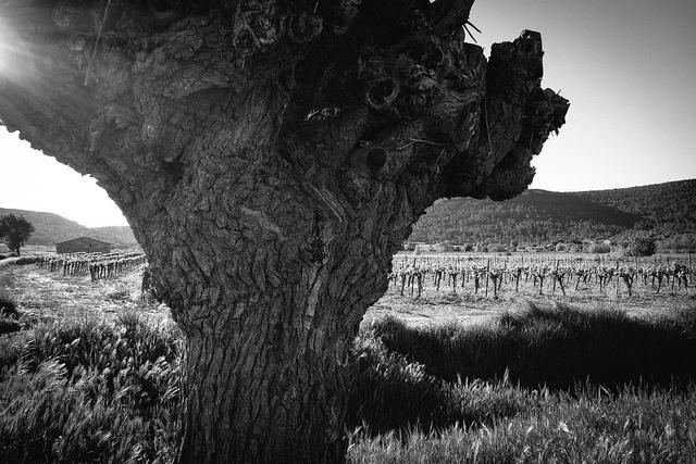 arbre_Castelneau