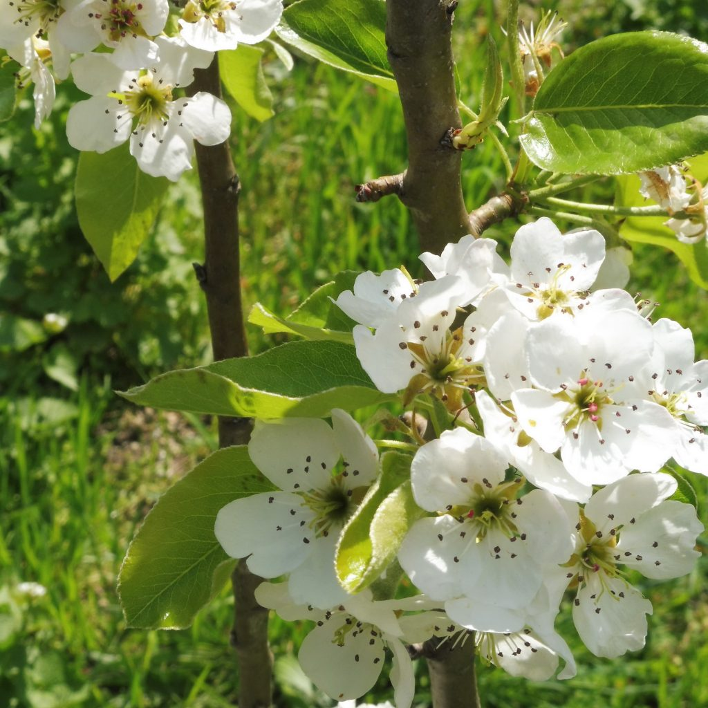 fleurs_poirier_carré